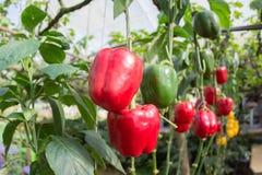 新鲜的水果和蔬菜在庭院里,黄色和红色蔬菜、关闭菜和水果 库存照片