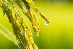 新鲜的水稻在农场 免版税库存图片