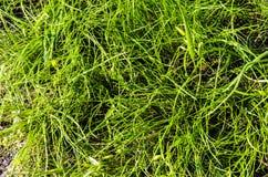 新鲜的没被割的草坪草 库存照片