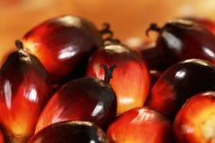 新鲜的油棕榈树种子 图库摄影