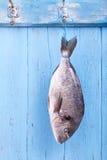 新鲜的海鲷不顾一切地在异常分支停止 免版税库存图片