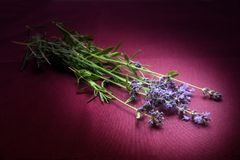 新鲜的淡紫色花照亮与在黑暗的桃红色fabr的一个斑点 免版税图库摄影