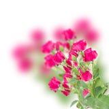 新鲜的淡紫色玫瑰分支  免版税库存图片