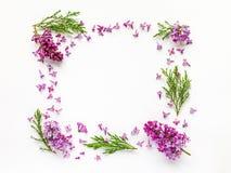 新鲜的淡紫色花和杜松枝杈花卉边界在白色 库存照片