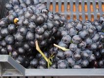 新鲜的深红葡萄 库存照片