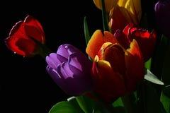 新鲜的湿郁金香花束,与黄色和紫罗兰色郁金香的补凑桔子细节与红色的开花,黑背景 免版税库存图片