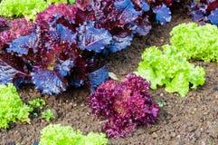 新鲜的湿莴苣在庭院里 库存照片