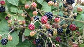 新鲜的狂放的黑莓灌木 免版税库存照片