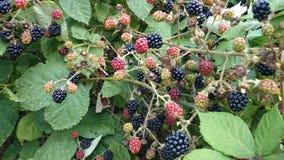 新鲜的狂放的黑莓灌木 库存照片
