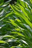 新鲜的玉米增长 库存照片