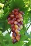 新鲜的玫瑰色和绿色葡萄 免版税库存图片