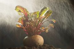 新鲜的甜菜根健康菜高营养 图库摄影
