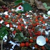 新鲜的生物废物和天然肥料用野玫瑰果 免版税库存照片