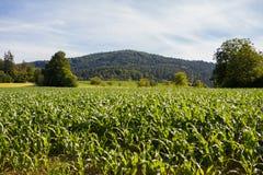 新鲜的生长玉米行和行  图库摄影