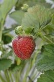 新鲜的生长草莓 免版税图库摄影