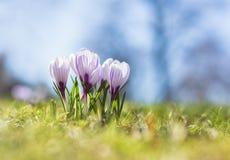 新鲜的番红花花在春天 免版税库存照片