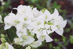 新鲜的白色九重葛花在公园 图库摄影