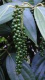 新鲜的白色和黑胡椒庭院 免版税图库摄影
