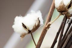 新鲜的白色棉花蒴 库存图片