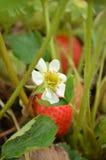 新鲜的白色草莓开花花 库存图片