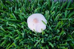 新鲜的白色蘑菇 库存照片