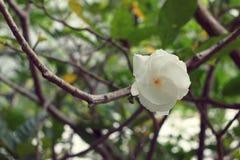 新鲜的白花栀子jasminoides栀子 免版税图库摄影
