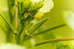 新鲜的秋葵 免版税图库摄影