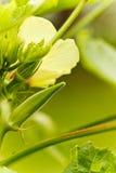 新鲜的秋葵 库存照片
