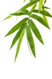 新鲜的竹子留给边界水下落被隔绝在白色bac 库存图片