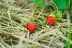 新鲜的红色草莓在人的手上 免版税库存图片