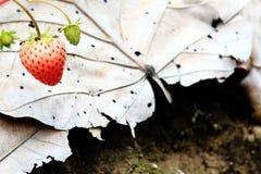 新鲜的红色草莓在草莓农场 免版税库存图片
