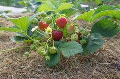 新鲜的红色草莓的布什 免版税库存照片