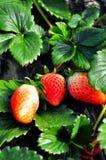 新鲜的红色草莓 免版税图库摄影