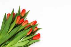 新鲜的红色郁金香大花束,隔绝在白色背景 库存照片