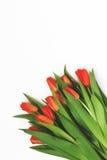 新鲜的红色郁金香大花束,隔绝在白色背景 免版税库存图片