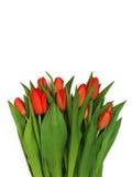 新鲜的红色郁金香大花束,隔绝在白色背景 免版税图库摄影