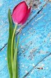新鲜的红色郁金香特写镜头 免版税库存照片