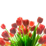新鲜的红色郁金香花束边界-有白色背景 免版税库存照片