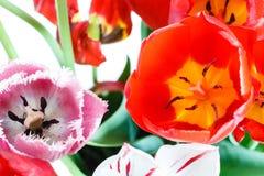 新鲜的红色,白色,桃红色郁金香在诗句开花 免版税图库摄影
