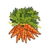 新鲜的红萝卜花束  库存例证