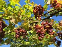 新鲜的红葡萄在庭院里 库存图片