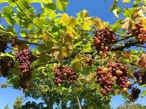 新鲜的红葡萄在庭院里 免版税库存照片
