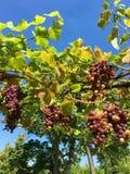 新鲜的红葡萄在庭院里 免版税库存图片