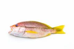 新鲜的红鲷鱼鱼 免版税库存图片