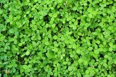 新鲜的绿色三叶草叶子 免版税库存照片