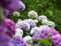 新鲜的绿色八仙花属 库存图片