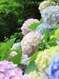 新鲜的绿色八仙花属 免版税库存图片