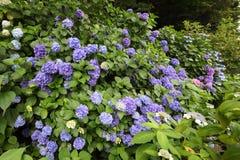新鲜的绿色八仙花属 免版税库存照片