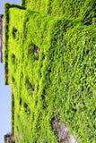 新鲜的绿色叶子做藤墙壁 图库摄影