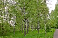 新鲜的绿色叶子和草在城市公园的桦树树丛里 免版税库存图片